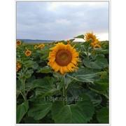 Floarea soarelui фото