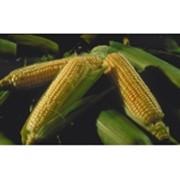 Семена кукурузы Космо230 фото