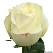 Роза Polar star фото