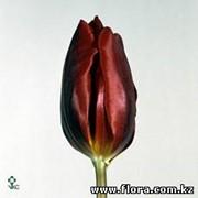 Тюльпан Couleur Cardinal фото