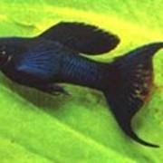 Лира черная фото
