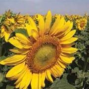 Семена подсолнечника ЕС Белла фото