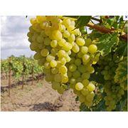 Столбики виноградные фото