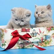 Котята короткошерстные фото