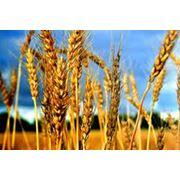 Закупка зерновых и бобовых культур фото