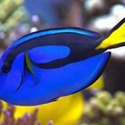 Рыба Голубой королевский хирург Paracanthurus hepatus фото
