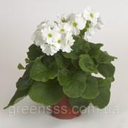 Примула обратноконическая Touch Me белая -- Primula obconica Touch Me White фото