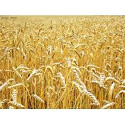 Feed wheat фото