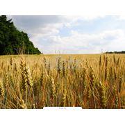 Зерновые культуры Ячмень фото