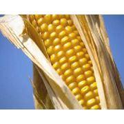 Кукуруза фуражная оптом на самых выгодных условиях фото