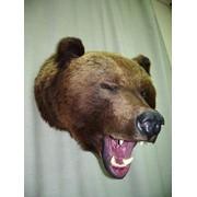 Трофейная голова медведя. фото