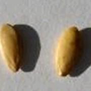 Семена огурца фото