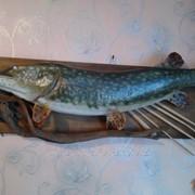 Чучело рыбы щука фото