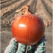 Лук Голд Стар. Овощи свежие фото