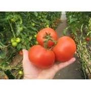 Семена томата Картье F1 250 семян (индетерминантный) фото