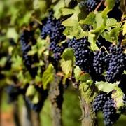 Виноград разных сортов фото