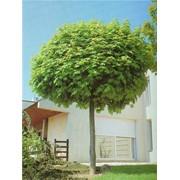 Деревья лиственные фото
