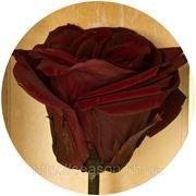 Одна долгосвежая роза FLORICH в подарочной упаковке. Багровый гранат 7 карат, короткий стебель. Харьков фото