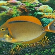 Рыба Хирург Бариена Acanthurus bariene фото
