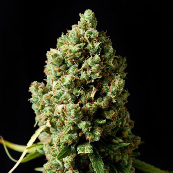 Семена конопли правовой статус сколько дней выходит марихуана