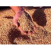 Культуры кормовые зерновые фото