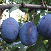 Яблоня плодовая, слива десертная, смородина садовая, вишня посадка и продажа фото