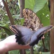 Бабочки Калиго - Caligo. фото