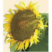 Семена подсолнуха(ТИСА) фото