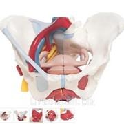 Модель женского таза со связками, сосудами, нервами, мышцами тазового дна и органами фото