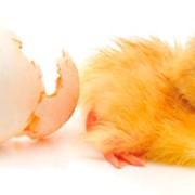 Инкубация яиц сельскохозяйственной птицы фото