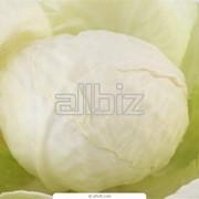 Капуста белокочанная фото