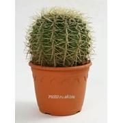Кактусы Echinocactus Grussonii фото
