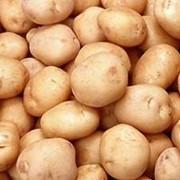 Картофель, закупка картофеля, оптовая закупка фото