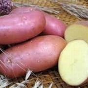 Продам картофель семенной от 1 тонны, Черкассы фото