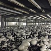 Ciuperci champignnons DELMARK la Export фото