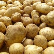 Картофель оптом, Картофель оптом в Казахстане фото