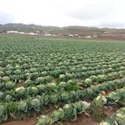 Капуста белокочанная (новый урожай, открытого грунта) фото