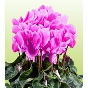Семена цикламен Neon Pink фото