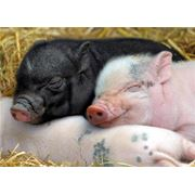 Поросята-гибриды домашней белой свиньи и крупного корейского черного окраса хряка фото