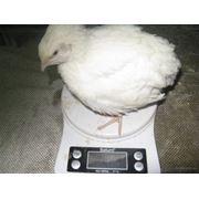 Инкубационное яйцо Перепела Белый Техаский фото