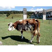 Скот крупный рогатый мясной на убой фото
