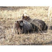 Цигайские овцы фото