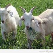 Ветеринарные препараты для коз фото