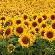 Гибриды семян подсолнечника Тристан (Сингента) фото