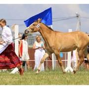 Лошади упряжной породы фото