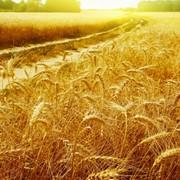 Пшеница крупные поставки, пшеница из Казахстана и России фото