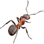Избавление от муравьев фото