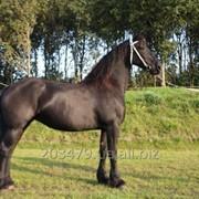 Фризская лошадь 168 cm 7 лет фото