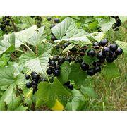 Смородина чёрная Дубровская (Саженцы) фото