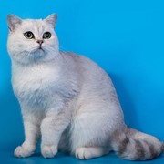 Разведение кошек фото